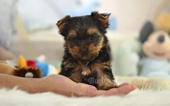 Biscuit's Puppy